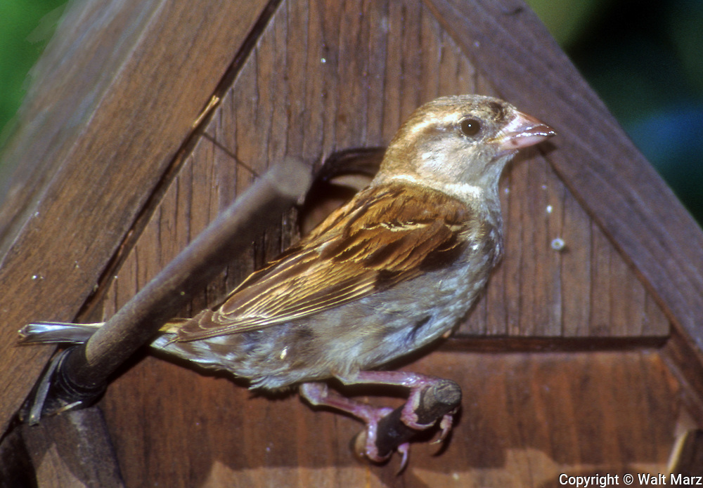 Female Purple Finch at birdhouse. Field and feeder bird, feeds on seeds, buds, berry and insects.