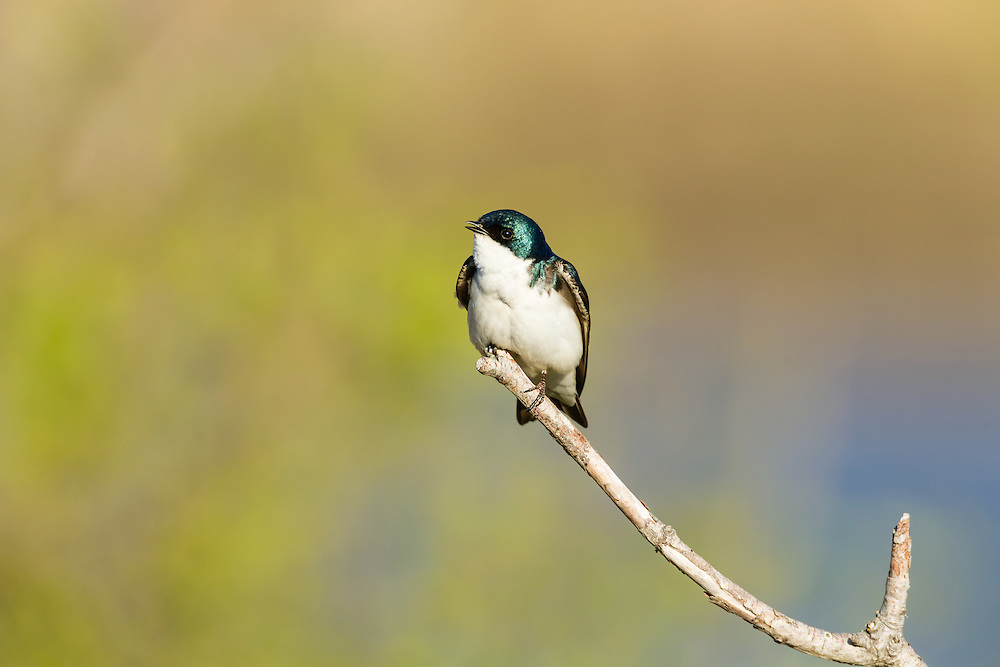 A Tree Swallow (Tachycineta bicolor) perches on a tree branch overlooking Potter Marsh in the Anchorage Coastal Wildlife Refuge in Southcentral Alaska. Spring. Evening.