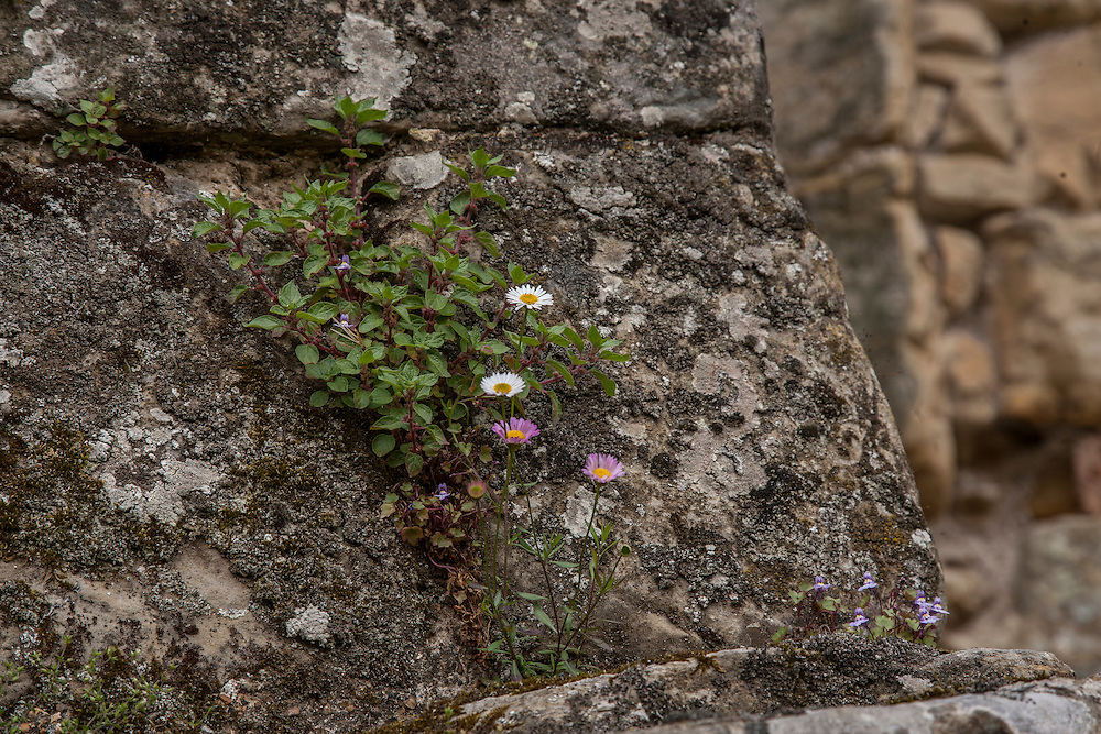 Though the castle fabric is carefully stabilized and maintained, volunteer blooming plants find places to grow.  They are periodically cleared away before they can damage the stone.