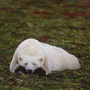 Polar bear resting on the tundra. Canada