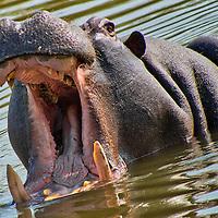 Alberto Carrera, Hippo, Hippopotamus, Hippopotamus amphibius, Kruger National Park, Mpumalanga, South Africa, Africa