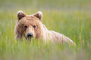A brown bear relaxes and lies down while dining on the sedge grass in Lake Clark National Park.