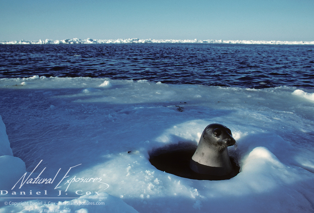 Harp Seal female pops up through a hole in the ice during spring. Canada