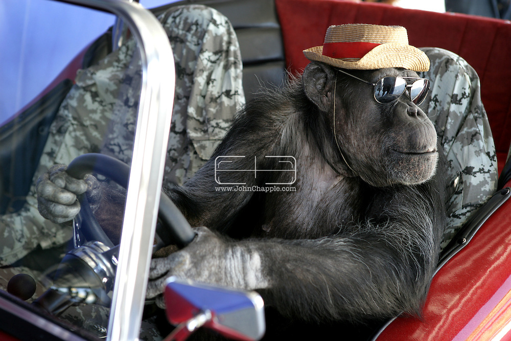 EXCLUSIVE 24th June 2008, Palm Springs, California. 76-year-old Cheeta, star of many Hollywood Tarzan films of the 1930s and 1940s, is coming out of retirement. Recognized as the oldest chimpanzee alive, the Palm Springs resident has just signed a record deal. To celebrate the signing, Cheeta made a promo music video to accompany his cover of the 1975 hit song 'Convoy'. PHOTO &copy; JOHN CHAPPLE / www.johnchapple.com<br /> tel: +1-310-570-9100