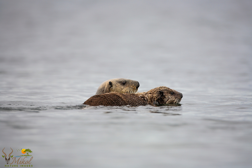 sea otter female swimmimng alongside pup