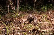 Virginia opossum (Didelphis virginiana)<br /> TEXAS: Newton Co.<br /> Scrapping Valley<br /> 11-Jun-2015<br /> J.C. Abbott &amp; K.K. Abbott<br /> captured by trap camera