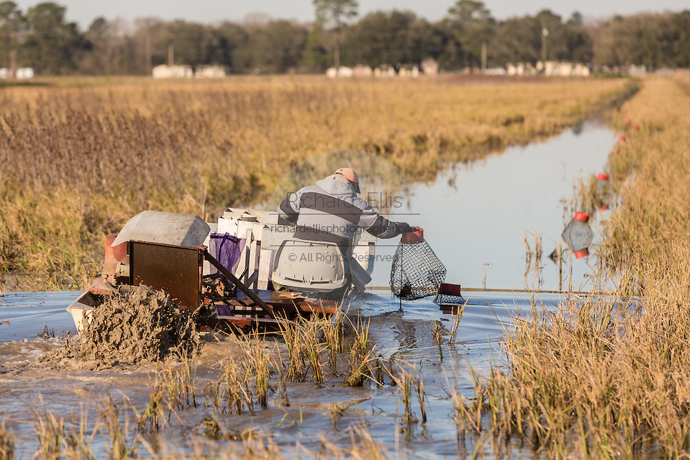 A aquaculture farmer pulls traps with crayfish also known as crawfish from a flooded rice paddy in rural Eunice, Louisiana. Crawfish are farmed in flooded rice fields giving farmers a summer rice crop and a winter crawfish harvest.