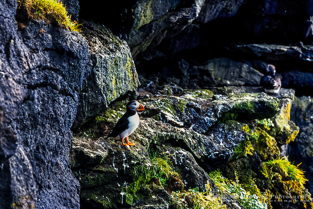 Vestmannaeyjar Islands off the south coast of Iceland. Heimaey is the main island. Puffins.