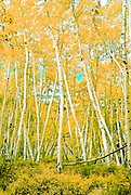 Stand of aspens on Owl  Creek Pass, yellow leaves and yellow ground cover accentuated.