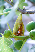 insects eating up the ripe figs