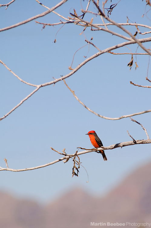 Male Vermilion Flycatcher (Pyrocephalus rubinus) perched in tree, Tucson, Arizona