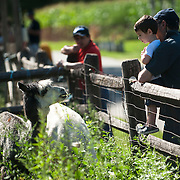 September 9, 2012 - Queens, NY : The Queens County Farm Museum, located Little Neck Parkway, boasts an assortment of livestock, as well as bees, a vineyard, vegetable gardens, an orchard, and, seasonally, a corn maze. Pictured here, 2.5-year-old Ezzy Burstein, held by his father Yakov, makes eye contact with an alpaca. CREDIT: Karsten Moran for The New York Times