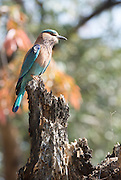 Bandhavgarh is a new National Park with a very long history. Set among the Vindhya hills of Madhya Pradesh with an area of 168sq miles (437sq kms) it contains a wide variety of habitats and a high density of game, including a large number of Tigers. Picture shows Indian Roller Bird.