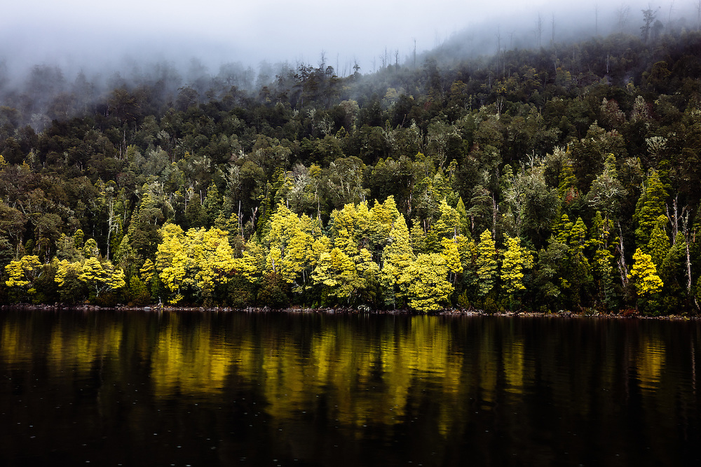 Flowering Silver Wattle (Acacia dealbata) along the shores of Lake St Clair with low hanging cloud above the tree tops. Cradle Mountain - Lake St Clair National Park.
