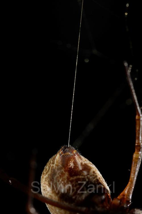 [captive] Female Golden Silk Orbweavers (Nephila clavipes) with silk thread. | Weibliche Goldene Radnetzspinne (Nephila clavipes) mit Seidenfaden.