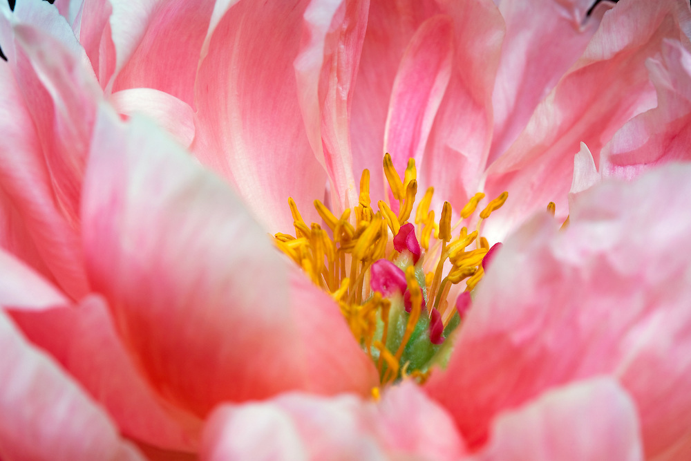 center focus on pink peony flower with petals soft focus yellow center green