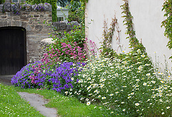 Geraniums, Leucanthemum vulgare (Ox eye daisies) and Centranthus ruber (Red valerian) growing along the base of a wall