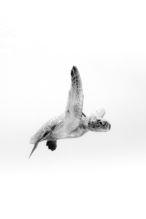México, Guerrero, Ixtapa. Portrait of a sea turtle swimming at open ocean some 10 miles off the coast.