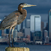 Great Blue Heron rests before a stormy Seattle skyline