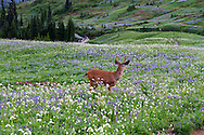 A Black-tailed Deer (Odocileus hemionus columbianus) foraging in the meadows near Edith Creek at Mount Rainier National Park, Washington State, USA