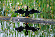 A anhinga drying it's wings after fishing, sits on a fallen tree in a fresh water depression managed for waterfowl. This Anhinga, among many others will feed here every afternoon.