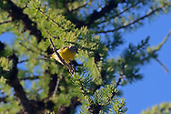 Nashville warbler perching in an alpine larch in the Northwest Peak Scenic Area in summer. Purcell Mountains in the Kootenai National Forest, northwest Montana.