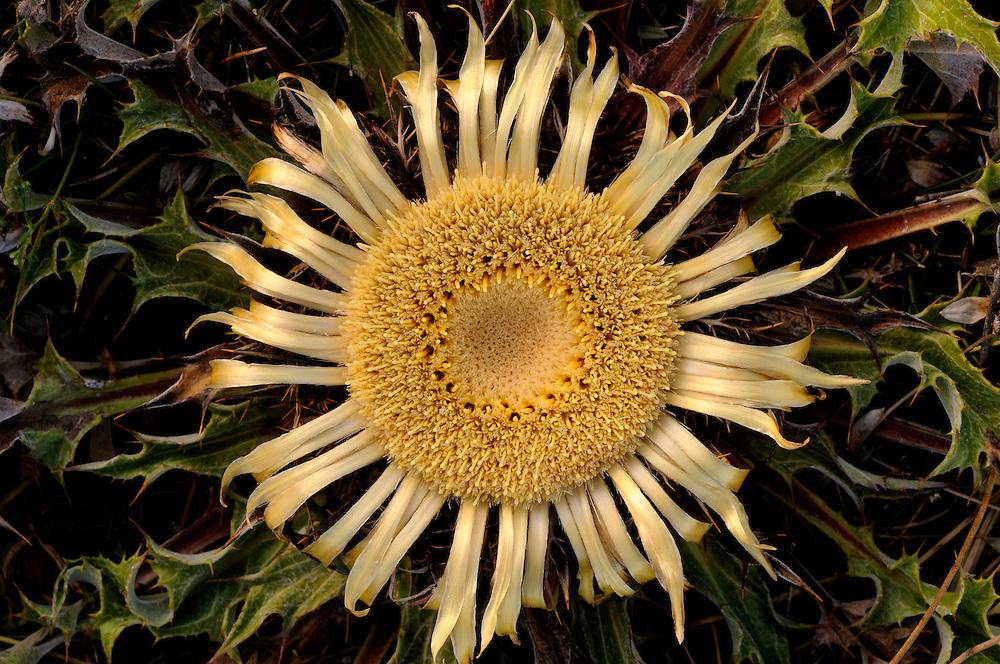 France, languedoc Roussillon, Lozère (48), Cévennes, Causse Méjean, fleur de Carline à feuilles d'acanthe, Cardabelle, N.L. Carlina acanthifolia, (Composées)