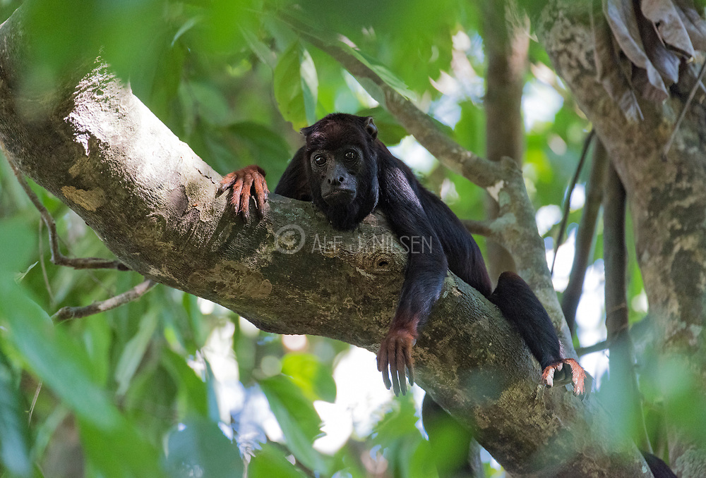 Red-handed Howler Monkey (Alouatta belzebul) from Cristalino Lodge, southern Amazon, Brazil.