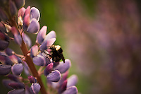 Nature's perfect pairing of a bee and lupine.