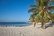 Coconut Palms along Smathers Beach Key West, Florida