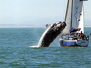 "Forty-ton whale lands on yacht during Cape Town sailing trip<br /> <br /> A couple who took a yacht for a quiet sailing trip were stunned when a 40-ton whale crash-landed on their boat off Cape Town.<br /> <br /> The pair were enjoying calm seas off the South African coast when the animal flipped into the air and smashed into their mast.<br /> Ralph Mothes, 59, and Paloma Werner, 50, were helpless as the beast thrashed around on their 33ft vessel before slipping back into the water.<br /> Miss Werner said: ""It really was quite incredible but very scary. The whale was about the same size as the boat.<br /> ""We'd spotted it about 100 metres away and thought that was the end of it. Then suddenly it was right up beside us.<br /> ""I assumed it would go underneath the boat but instead it sprang out of the sea. We were very lucky to get through it, as the sheer weight of the thing was huge.<br /> ""There were bits of skin and blubber left behind, and the mast was wrecked. It brought down the rigging too.<br /> ""Thank goodness the hull was made of steel and not fibreglass or we could have been ruined.""<br /> Moments before the animal leapt it had pounded its tail on the surface of the water in a 'lob-tailing' ritual to communicate with other whales.<br /> The shaken couple, who are experienced seafarers with the Cape Town Sailing Academy, used their engine to get back to shore in Table Bay.<br /> Whales are a common sight in the Atlantic Ocean off the Western Cape coast at this time of year as they come near the shore to breed.<br /> Thousands of tourists flock to the region's seaside resorts every year to spot the mammals during the South African winter from June to November.<br /> Hermanus, a popular destination around 80 miles east of Cape Town, employs a 'whale crier' to walk through the town announcing where whales have been seen.<br /> ©Mike Behr/Exclusivepix"
