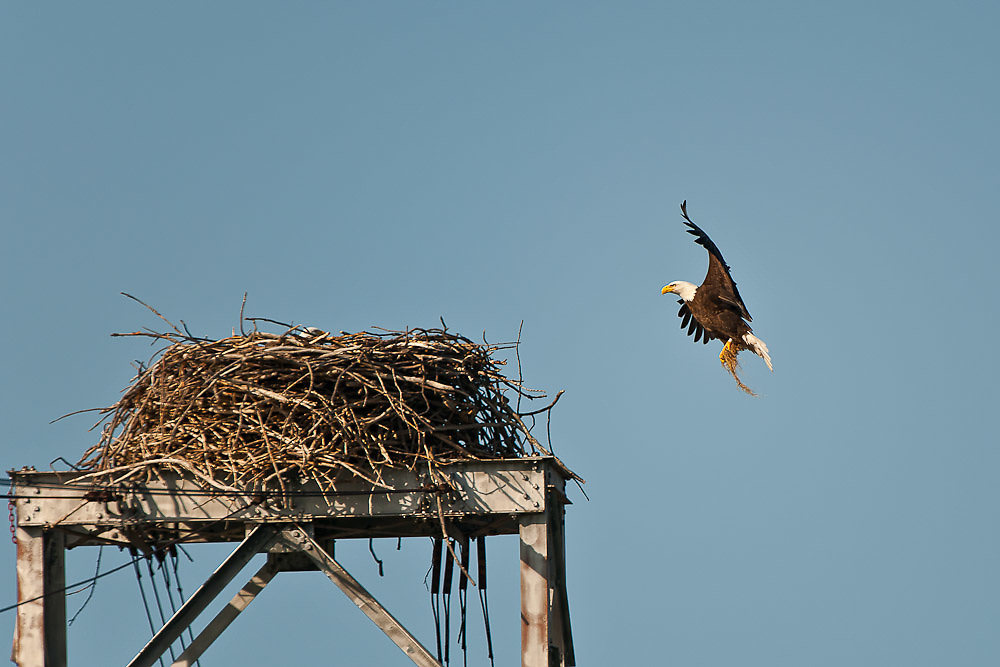 Eagle returning to nesting parent with bedding material