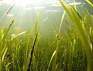 Common eelgrass (Zostera marina). Location : Hvaler, Norway