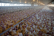 One of Ralph Rohrer's turkey houses on his turkey farm in Dayton, Virginia supplying Cargill. 11,000 turkeys in a building 600 feet long.