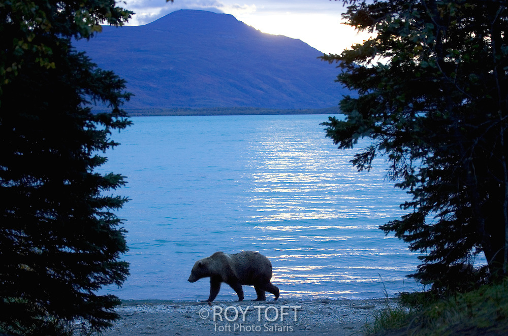 Alaskan brown bear (Ursus arctos) walking next to Naknek Lake, Katmai N.ational Park, Alaska.