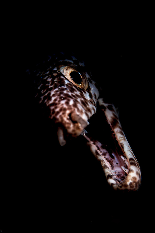 Spotted moray eel face.