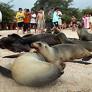 A group of tourists check out a crowd of sea lions resting on a beach on San Cristobal island on Galapagos on 7/7/09. The islands of Galapagos are under a constant battle for balance between it's nature and it's human inhabitants and visitors.