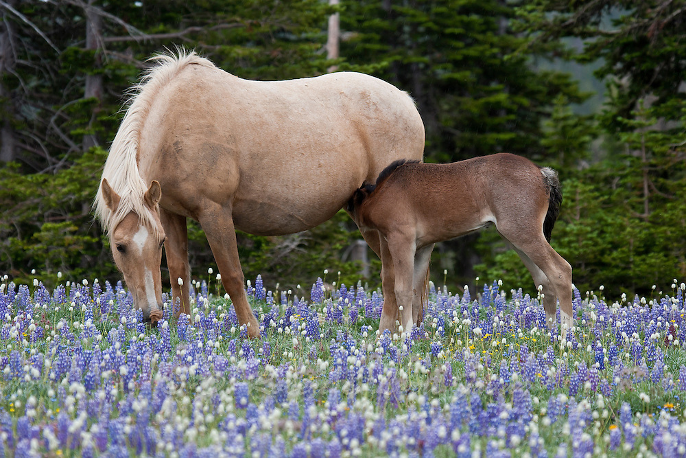 Wild mutang mare with foal in wildflowers