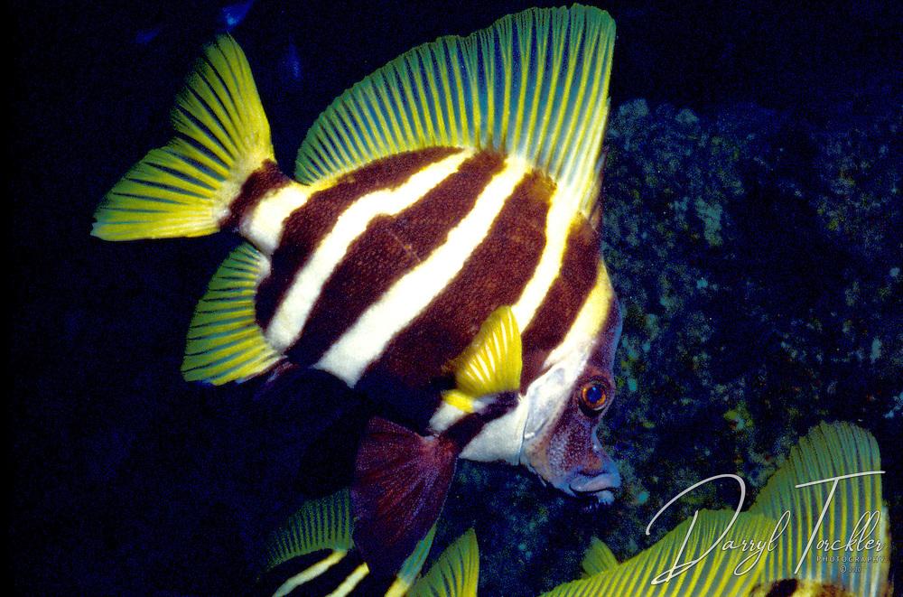 Striped Boarfish: Evistias acutirostris, Kermadec islands, New Zealand.
