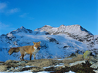 Fox on pass mountain top behind