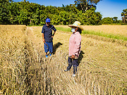 "08 DECEMBER 2015 - KO WAI, NAKHON NAYOK, THAILAND:  Farmers in their rice paddy during the rice harvest in Nakhon Nayok province, about two hours north of Bangkok. Thai agricultural officials expect rice prices to go up by as much as 15% as global production of rice is cut by the Pacific Ocean El Niño weather pattern. Thailand's rice production is expected to drop in the coming year. Persistent drought has reduced the main crop, currently being harvested, and the military government has ordered farmers not to plant a second crop of ""dry season"" rice to conserve Thailand's dwindling supply of water. Thailand's water reservoirs are at their lowest seasonal levels in recent memory and little rain is expected during the dry season, which lasts until June.   PHOTO BY JACK KURTZ"