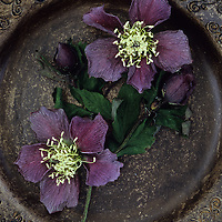Two dying flowers of Lenten rose or Helleborus orientalis with leaves and two buds lying in brown and gold bowl with intricate pattern