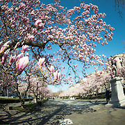 Tulip Magnolias in spring bloom in Rawlins Park in the Foggy Bottom neighborhood of northwest Washington DC. The statue from which the park gets its name is of Major General John A. Rawlins, advisor to Ulysses S. Grant.