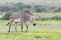 Cape Mountain Zebra Stallion, De Hoop Nature Reserve & Marine Protected Area, Western Cape, South Africa