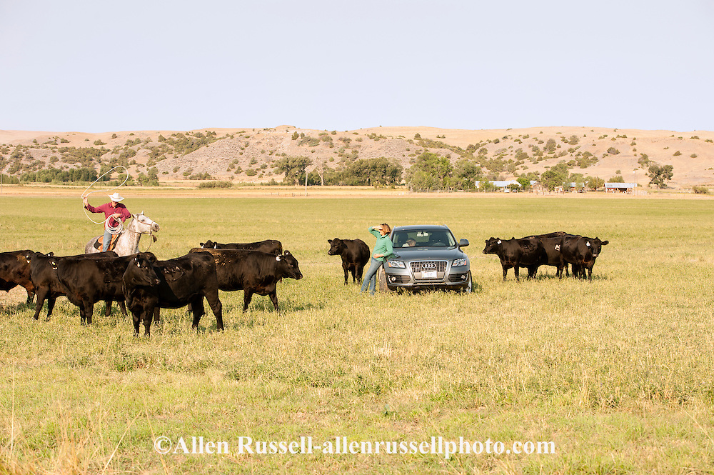 Cowboy, cowgirl, rancher, Black Angus, cattle, ranch, Montana.