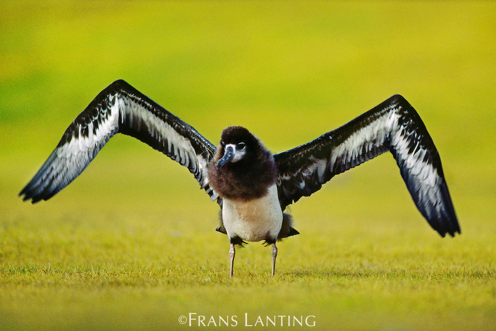 Laysan albatross fledgling excercising wings, Phoebastria immutabilis, Hawaiian Leeward Islands