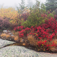 Beautiful fall foliage at top of foggy Cadillac Mountain, Acadia National Park, Maine