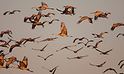 Sandhill Cranes fly out of the Platte River in Nebraska at sunrise during their annual migration north.