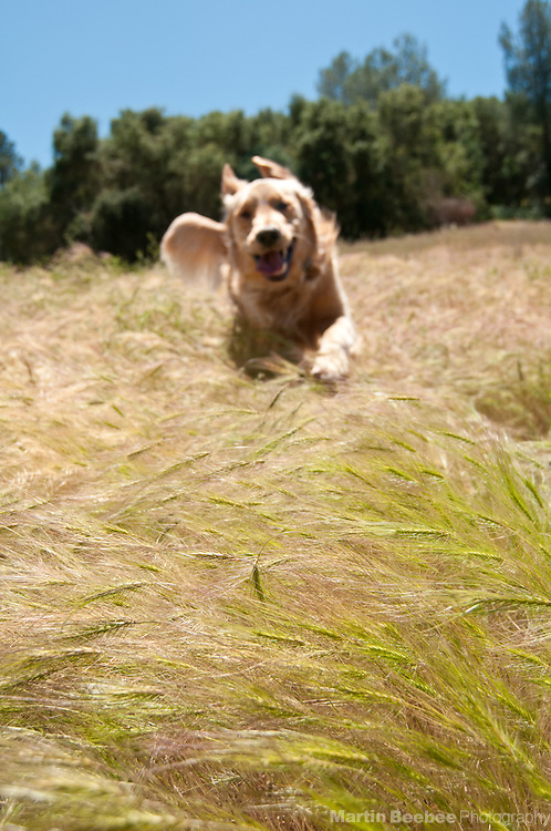Dog (golden retriever) running through a field of foxtails in California. Foxtails can burrow into dogs through their nose, eyes, and even skin, and can be life-threatening.