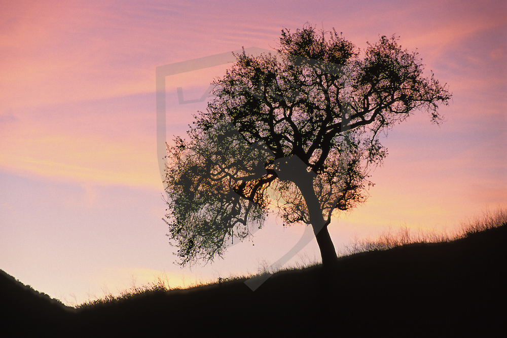 simple beauty and nature landscapes can be found as an oak tree stands silhouetted against a sunset sky in agoura hills in southern california.